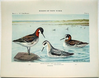 Northern Phalarope - Antique Print by Louis Agassiz Fuertes - From the 1910 Edition of The Birds of New York. Sandpiper. Avian
