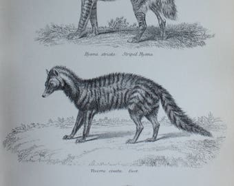 antique print engraving etch hyena  givet carnivora 1880