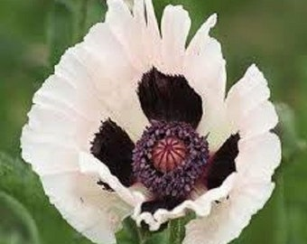 Royal Wedding Papaver Flower Seeds / Orientale /Perennial 35+