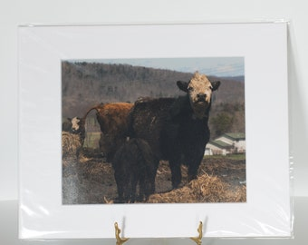 Matted Ready to Frame 8x10 Cows Photo Print - 11x14 Final Size - Cows Photo - Cow Art