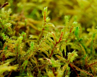 Live moss, Red forest moss,  for terrarium, vivarium, miniature gardens or craft projects. terrarium plant, Give a natural look.
