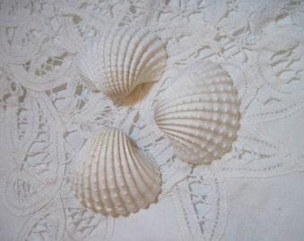 15 Mini White Ark Shells  - Weddings