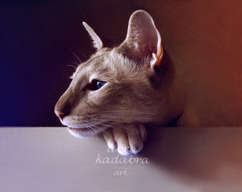 Siamese Сat Instant Digital Download Art Photography Printable, for cat lovers, brown, animal photography, cat portrait