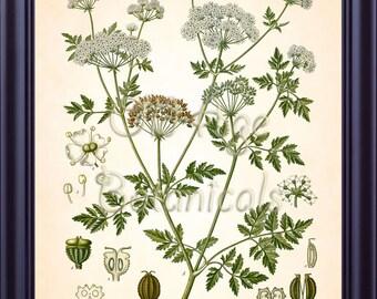 Kohler Botanical Print 8x10 Antique Art Vintage Plate CONIUM MACULATUM  Poison Hemlock Medicinal Plants 1887 Kitchen Wall Art Decor BF0744