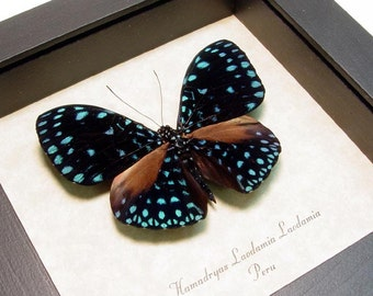 Framed Butterfly Starry Night Real Van Gogh Blue Laodamia 1109