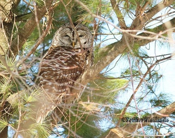 Barred Owl Photo | Owl in Pine | Raptor Decor | Owling | Nature Wall Art | Home Office Restaurant Wall Decor | FeatherWindStudio | Owl Print