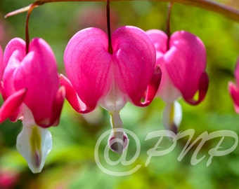Pink Flower Photo, Bleeding Hearts Photo, Macro Photography, Pink Flowers, Gift for Her, Wall Art, Bedroom Art, Cottage Decor, Office Decor
