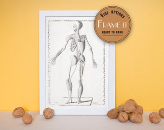 "Vintage anatomical print showing articulation of musculo-skeletal system-fine art print, art of anatomy,8""x10"" ; 11""x14"", FREE SHIPPING  156"