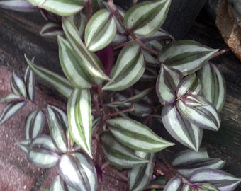 FIVE (5) Wandering Jew Tradescantia Silver and Purple live plant cuttings / FAIRY GARDEN