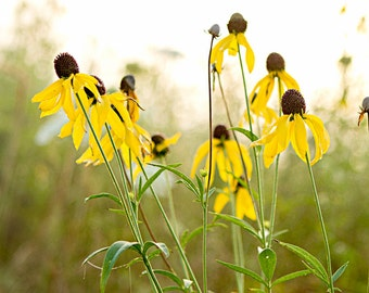 Photography Print, Nature Photography, Yellow Coneflowers, Floral Print, Wall Art, Home Decor