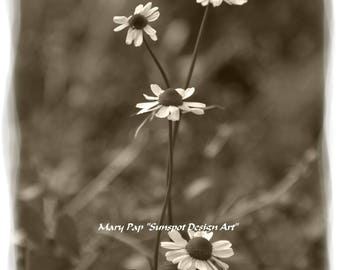 white flowers, sepia photography, sepia toned print, nature print, plant pfotograph, chamomile