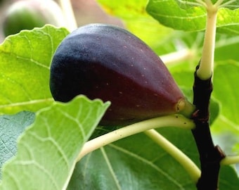 Black Mission Fig Tree Live Fruit Plant Fully Rooted Potted Organic Pre-Bonsai Rare Exotic 6 INCH Cold Hardy Pollinated Ready for Planting