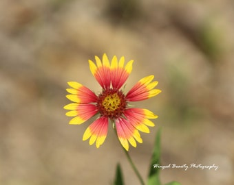 Indian Blanket Photo