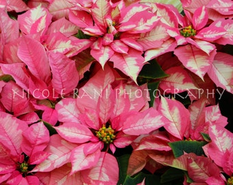 Pink Poinsettias - Photography - Las Vegas, NV