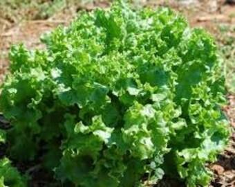 "Heirloom Seeds - ""Waldmann's Dark Green"" Lettuce seeds"