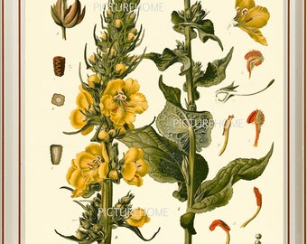 Botanical Print 4 KOHLER  Beautiful 8X10 Antique Large Yellow Flower Wildflower Plant Art Room Decoration Flowering Blooming Garden Nature