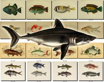 FISHES-52 Collection of 200 vintage images Goldfish Hamlet Perch arius salt-water picture High resolution digital download printable animals