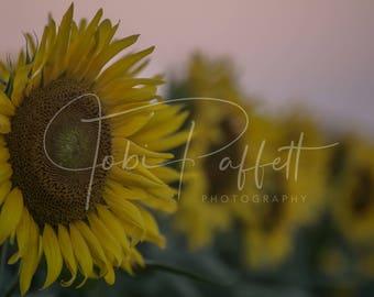 Sunflower Digital Download