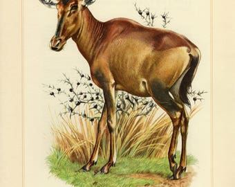 Vintage lithograph of the red hartebeest from 1956