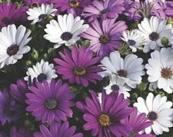 White and Purple African Daisy Mix Flower Seeds / Perennial 20+