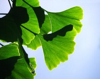 Ginkgo Leaves Photograph Bright Green Nature Gingko Summer Colors Home Decor 10x8 Print Gingko...