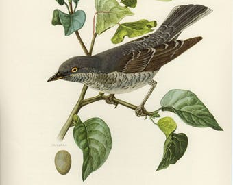 Vintage lithograph of the barred warbler from 1953