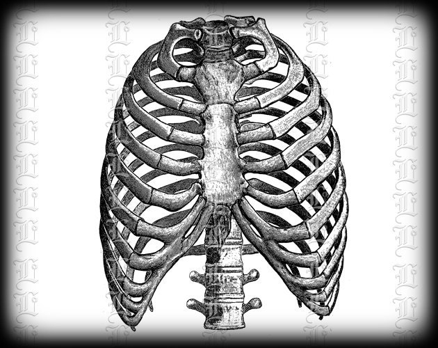 Human Rib Cage Front View Medical Anatomy Study Vintage Clip