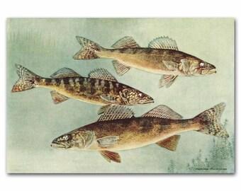 """Fish Wall Art, Fish Print (Fishing Gifts, Vintage Ocean Wall Decor) --- """"Wall Eyed Pike Perch Art""""  No. 135"""