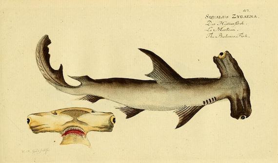 Hammerhead Shark Poster Shark Art Print From Vintage