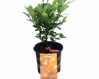 "Panama Orange Tree - Calamondin - Citrus mitis - 8"" Pot - Citrus"
