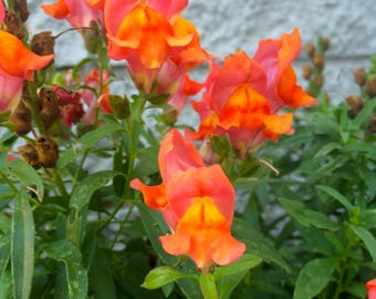 Antirrhinum majus Snapdragon Orange Yellow Pink Heirloom Flower Bees Butterflies Birds 500+ Seeds #1188