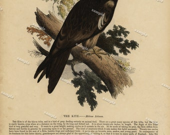 1850 Original Antique  Hand color print of The Kite  - Nature print- Natural history-  Bird print - Chromolithograph