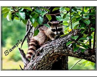 Raccoon Mischief Fine Art Photo Card