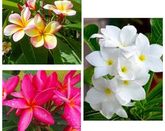 """3 Cutting Plumeria Mix Color, Dwarf Plant, Color Is On The Picture, 6"""" Long"""
