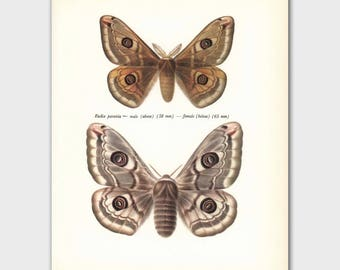 """Butterfly Print (Loft Decor, Home Office Wall Art) Vintage Butterfly Print --- """"Male & Female Emperors"""" No. 130-2"""