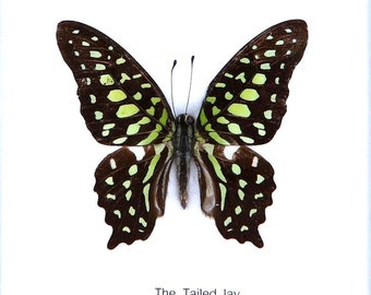 Real framed butterfly Display Rare Insect Taxidermy THE TAILED JAY Butterfly Display
