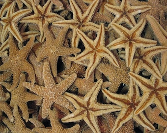 Natural Tan Orange Real Sugar Starfish FREE Shipping DIY Decor Art Crafts Beach Interior Decorating Sm Med Lg Xl Ocean Nautical Wedding Star