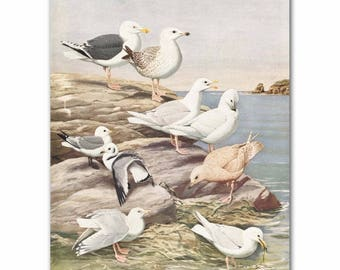 "Seagull Art, Beach House Print (1930s Bird Art, Sea Gull Wall Decor) ---"" Gulls & Kittiwake""  No. 5"