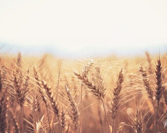 The Harvest, wheat, wheatfield, grain, farm photo, fine art print, wall art, photo, photograph