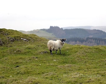 Scottish Sheep print