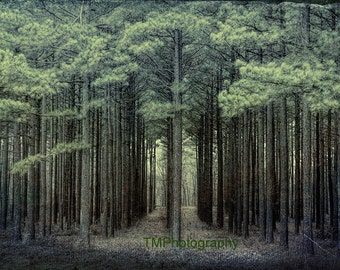 The Path - Forest - Trees - Pine Trees - Silence - Nature - Meditative - Park - Quiet - Fine Art Photography