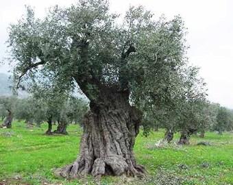 Olea Europaea  - 10 Seeds - Olive Tree