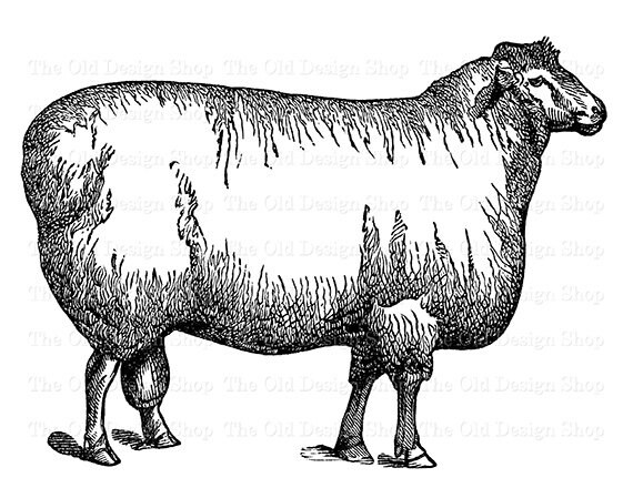 Cotswold Sheep Clip Art Vintage Farm Animal Illustration