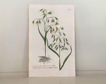 1737 OATS PLANT print - avena - rare original antique botanical engraving by johann weinmann botanical