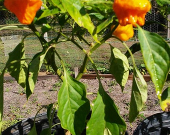 Jamaican Yellow Peppers, Hot Peppers, 10 Seeds