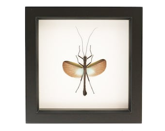 Framed Green Walking Stick Insect Display