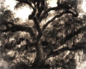 Live Oak, New Orleans. Sepia photographic print 8x10, 11x14
