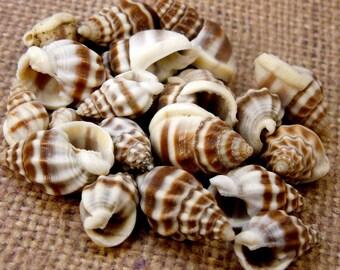 Beautiful Nassarius Pyrhum Whole Shell (RK5B9a)