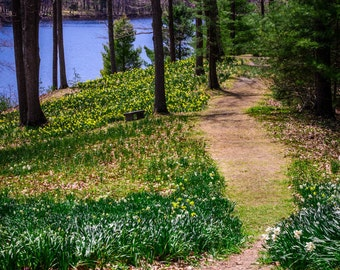 Daffodils in Bloom at Laurel Hill
