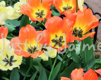 Orange and Yellow Tulips professionally printed photo - available in 5x7 or 8x10 (larger sizes by request) - matte finish - Easter host gift